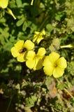 Nahaufnahme von gelbem gemeinem hölzernem Sorrel Flowers mit einer Biene, die Blütenstaub, Oxalis Acetosella sammelt Lizenzfreie Stockfotografie