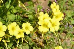 Nahaufnahme von gelbem gemeinem hölzernem Sorrel Flowers, Oxalis Acetosella Stockfotografie