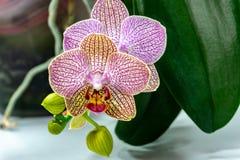 Nahaufnahme von Gelbem, von Rotem, Rosa und weißes gestreift mit Punktorchideenblume Phalaenopsis 'Demi Derooses Motten-Orchidee, lizenzfreie stockbilder