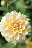 Nahaufnahme von gelbem und weißem Seattle Dahlia Flower im Garten Lizenzfreies Stockbild