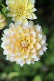 Nahaufnahme von gelbem und weißem Seattle Dahlia Flower im Garten Stockfoto