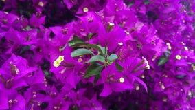 Nahaufnahme von gelben Blumen kombinierte mit intensivem Grün und die Tonnen von Purpurrotem, violett, Flieder verlässt stock footage
