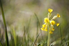 Nahaufnahme von gelben Schlüsselblumen Primel veris blüht im Sonnenlicht Stockfotos