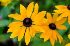 Nahaufnahme von gelber schwarzer gemusterter Susan in voller Blüte lizenzfreies stockbild