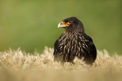 Nahaufnahme von gestreiften Falken im Gras gegen grünen Hintergrund Lizenzfreie Stockfotos