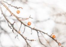 Nahaufnahme von getrockneten Holzäpfeln auf dem Baum im Winter Stockfoto