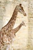 Nahaufnahme von Giraffen Lizenzfreies Stockfoto