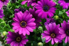 Nahaufnahme von Gänseblümchen eines Blumenstraußpurpurs Stockfotografie