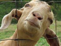 Nahaufnahme von goat's Gesicht Stockbilder