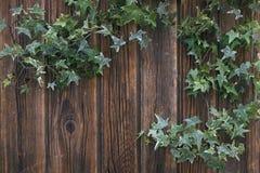 Nahaufnahme von grünen Efeuzweigen auf einem hölzernen Hintergrund der Weinlese Stockfotografie