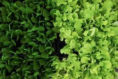 Nahaufnahme von grünen frischen Salatblättern Lizenzfreie Stockfotografie