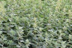 Nahaufnahme von grünen stechenden Nesseln Stockfoto