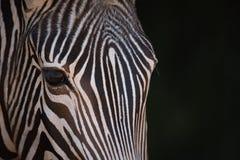 Nahaufnahme von Grevy-Zebra anstarrend entlang der Kamera Stockfoto