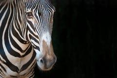 Nahaufnahme von Grevy-Zebra vorwärts anstarrend Lizenzfreies Stockfoto