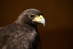 Nahaufnahme von Harris-Falken gegen braunen Hintergrund Stockfotos