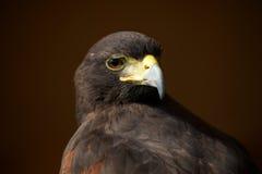 Nahaufnahme von Harris-Falken schauend über Schulter Lizenzfreies Stockfoto