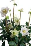 Nahaufnahme von Helleboreblumen und -blättern Lizenzfreies Stockbild