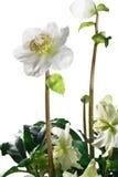 Nahaufnahme von Helleboreblumen und -blättern Stockfotografie