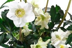 Nahaufnahme von Helleboreblumen und -blättern Stockbild