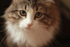 Nahaufnahme von hypnotischer Cat Sad Look auf der Kamera lizenzfreies stockbild