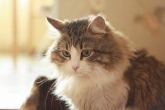 Nahaufnahme von hypnotischer Cat Sad Look auf der Kamera stockbilder