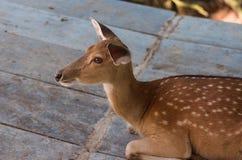 Nahaufnahme von jungen braunen Rotwild im Zoo lizenzfreie stockfotos