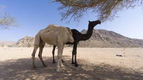 Nahaufnahme von Kamelen an der Wüste Stockfotografie