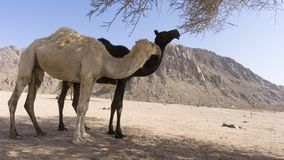 Nahaufnahme von Kamelen an der Wüste Lizenzfreie Stockfotos