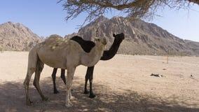 Nahaufnahme von Kamelen an der Wüste Lizenzfreie Stockfotografie