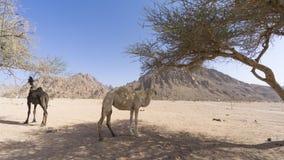 Nahaufnahme von Kamelen an der Wüste Lizenzfreies Stockbild