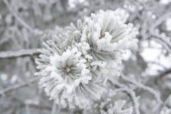 Nahaufnahme von Kiefernniederlassungen im Winter Stockfotos