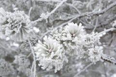 Nahaufnahme von Kiefernniederlassungen im Winter Lizenzfreies Stockbild
