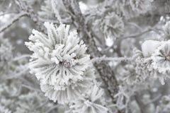 Nahaufnahme von Kiefernniederlassungen im Winter Stockbild