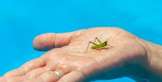 Nahaufnahme von kleinen grünen Heuschrecken- oder grigsitzen auf der Hand der mittleren Greisin im Pool auf unscharfem Hintergrun stockfotos