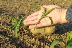 Nahaufnahme von kleinen Maispflanzen von der biologischen Landwirtschaft mit der Hand des Landwirts Lizenzfreies Stockfoto