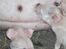 Nahaufnahme von kleinen Schweinen, die von ihrer Mutter gepflegt werden, Bauernhof Stockfoto