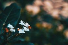 Nahaufnahme von kleinen weißen Blumen von Viburnum tinus stockfotografie