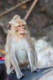 Nahaufnahme von Koh Chang-Affen sitzend auf einem Rollersitz, Thailand Lizenzfreies Stockbild