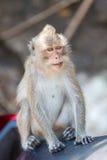 Nahaufnahme von Koh Chang-Affen sitzend auf einem Rollersitz, Thailand Stockfoto