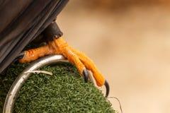 Nahaufnahme von Krallen eines sichernden Barbary-Falken, Falknerei Stockbilder