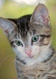 Nahaufnahme von kurzhaarigem Brown Tabby Kitten mit weißem Chin Stockfotografie