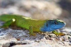 Nahaufnahme von Lacerta viridis in der Decksaison Lizenzfreie Stockfotografie