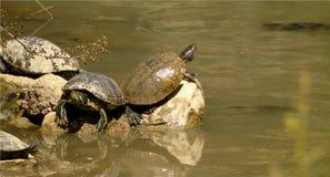 Nahaufnahme von Landschildkröten auf den Felsen auf Seehintergrund mit anderen Landschildkröten, die im Wasser, wildes Tier schwi Stockfoto