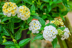 Nahaufnahme von Lantana aculeata Blumen Lizenzfreies Stockfoto