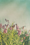 Nahaufnahme von Lavendelblumen mit Weinlesefarbe Lizenzfreies Stockbild