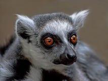 Nahaufnahme von Lemur Stockfotografie