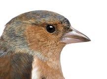 Nahaufnahme von männlichen allgemeinen Chaffinch - Fringilla coelebs stockfoto