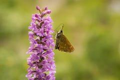 Nahaufnahme von Mücken-Händelwurz Gymnadenia conopsea ssp densiflora Lizenzfreies Stockbild