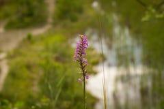 Nahaufnahme von Mücken-Händelwurz Gymnadenia conopsea ssp densiflora Lizenzfreie Stockfotos