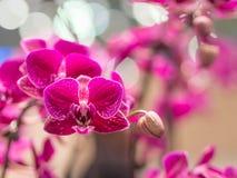 Nahaufnahme von Mini Phalaenopsis Orchid Flower Stockfoto
